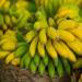 Angola : Novagrolider va exporter 200 tonnes de bananes par semaine vers l'Europe