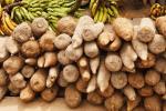 Congo-B : quelque 4,6 milliards de FCFA pour les programmes Manioc, Banane et Cacao